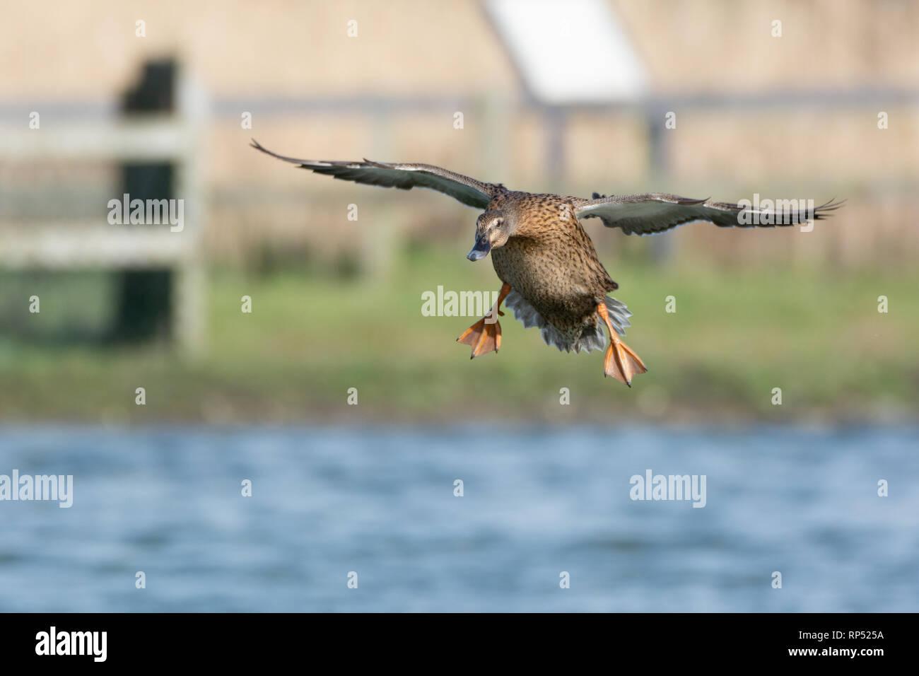 Female Mallard duck in flight coming in to land - Stock Image