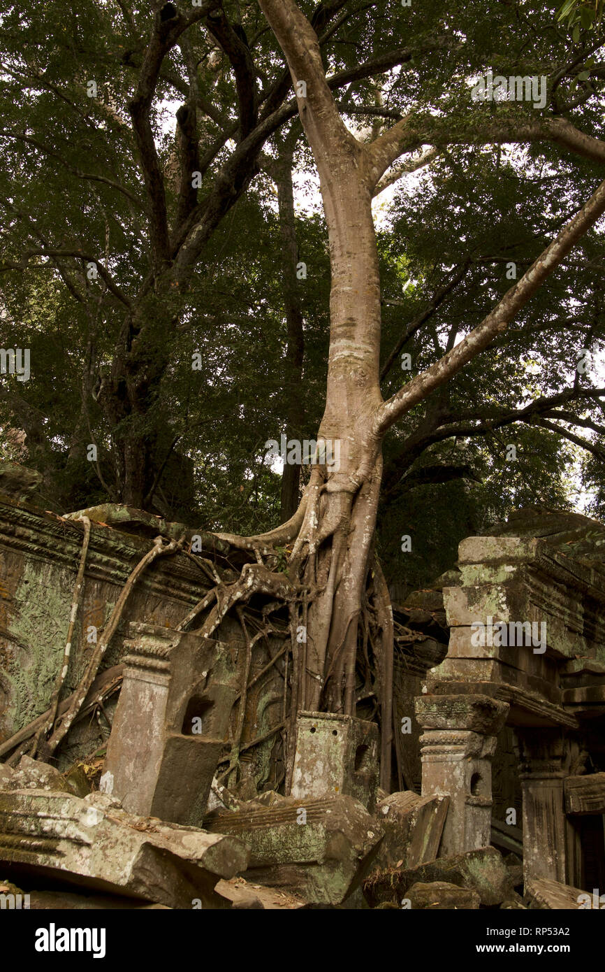 Siem Reap-Silk Cotton Tree at Banteay Kdei temple - Stock Image