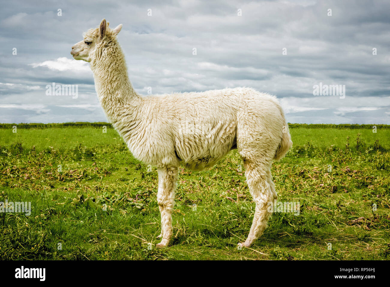 Alpaca (Vicugna pacos) - a species of South American camelid. Stock Photo
