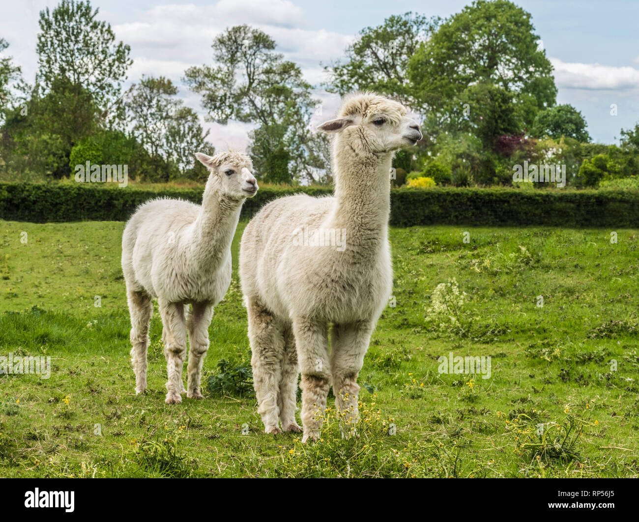 Alpaca (Vicugna pacos) - a species of South American camelid. - Stock Image