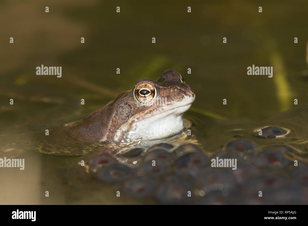 Common Frog, Rana temporaria, Male, waiting on frog spawn in breeding pond for females to arrive for spawning, February, garden pond Stock Photo