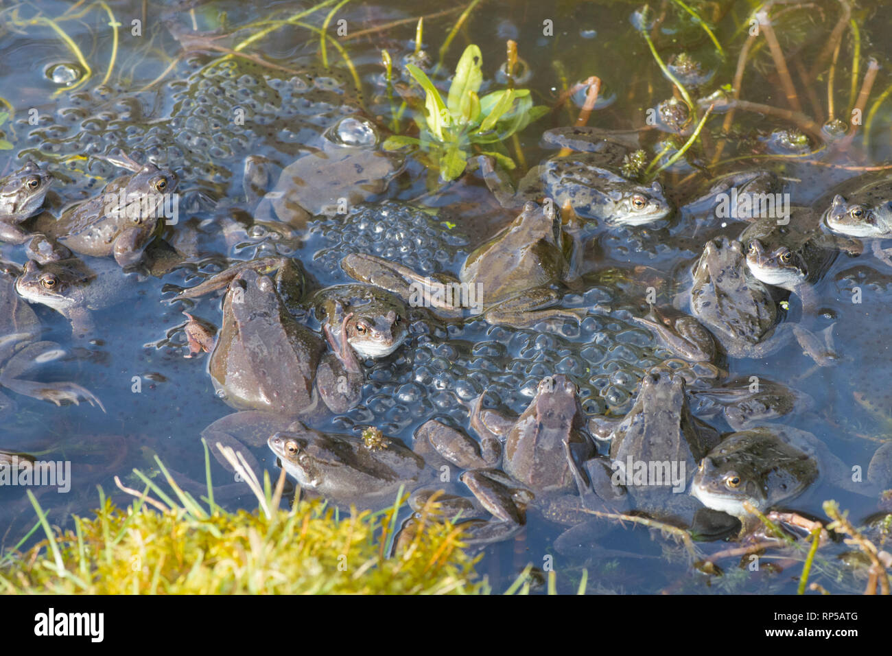 Common Frog, Rana temporaria, many males waiting on frog spawn in breeding pond for females to arrive for spawning, February, garden pond Stock Photo