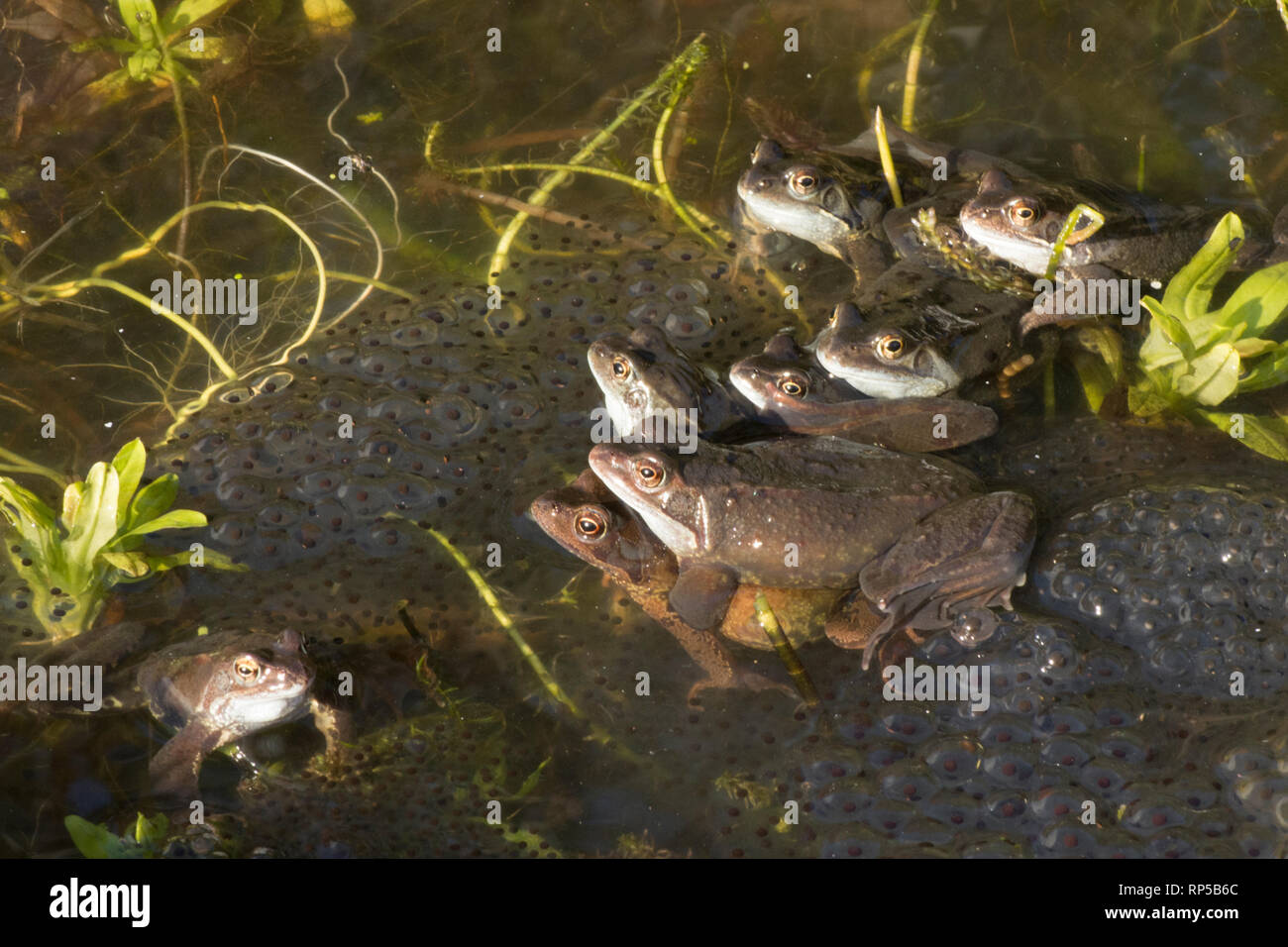 Common Frog, Rana temporaria, one pair, male and female among many males waiting on frog spawn for females to arrive for spawning, Stock Photo