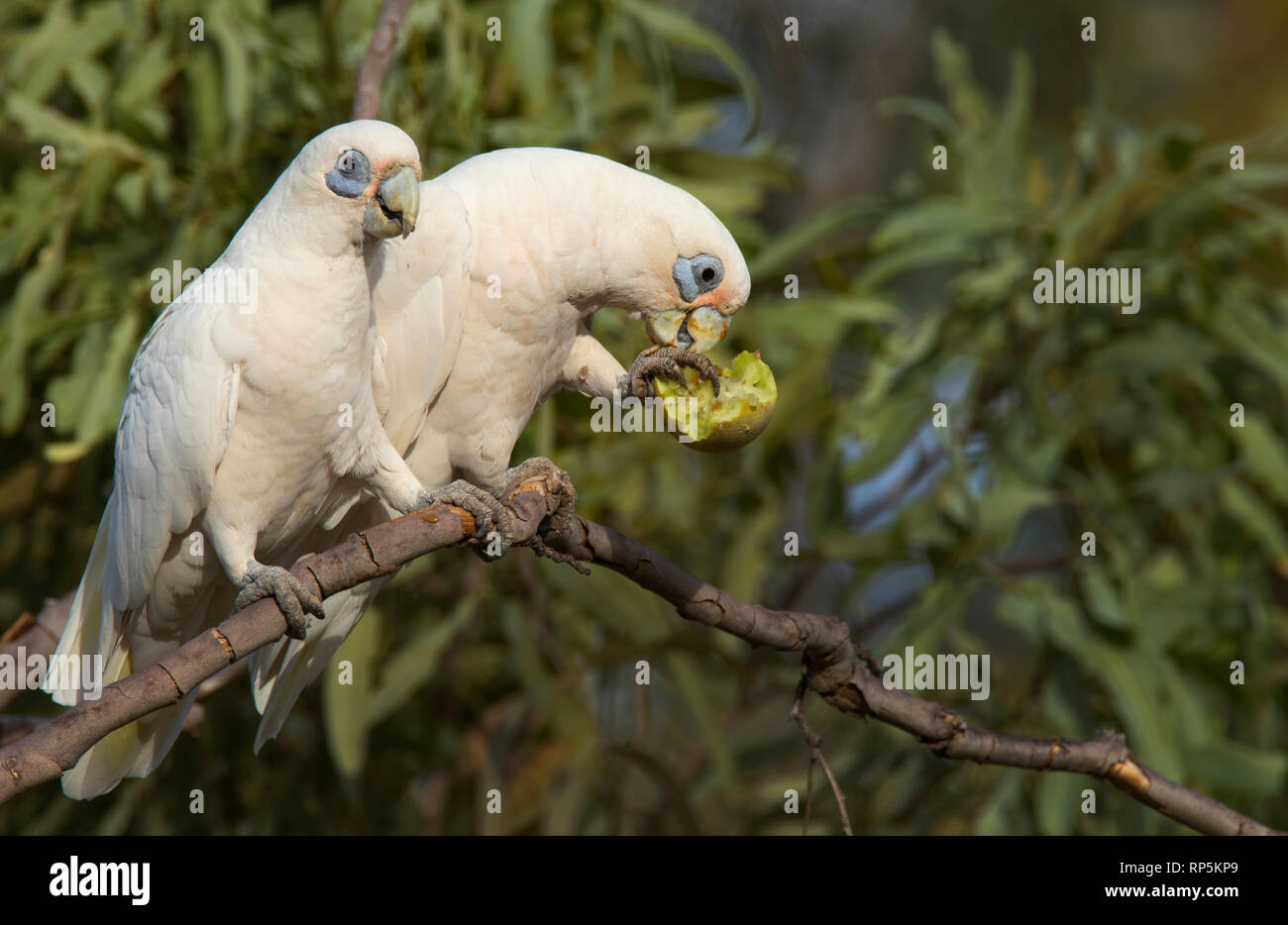 A pair of Little Corellas, Cacatua sanguinea, a type of parrot, perched in a tree with one feeding on a small melon. - Stock Image