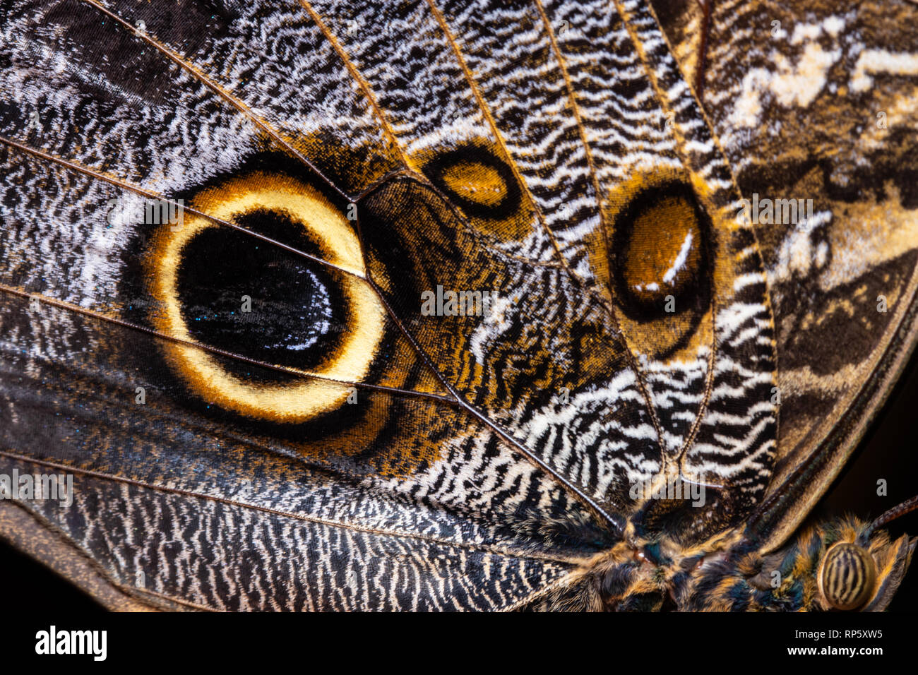 Butterfly wing texture, close up of detail of butterfly wing for background. - Stock Image