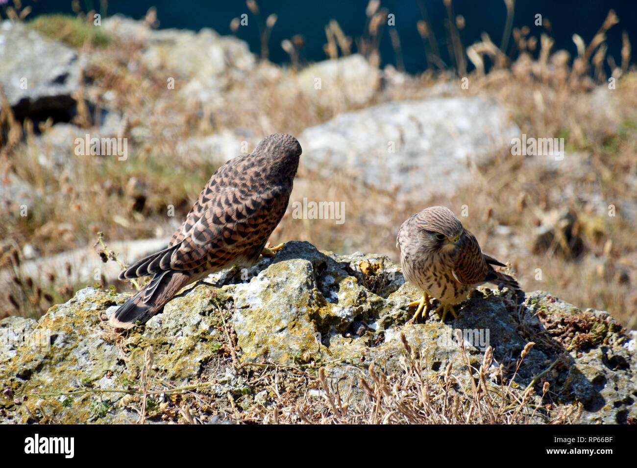 Young kestrels sitting on the cliffs at Durlston Country Park and National Nature Reserve, Swanage, Isle of Purbeck, Dorset, UK - Stock Image