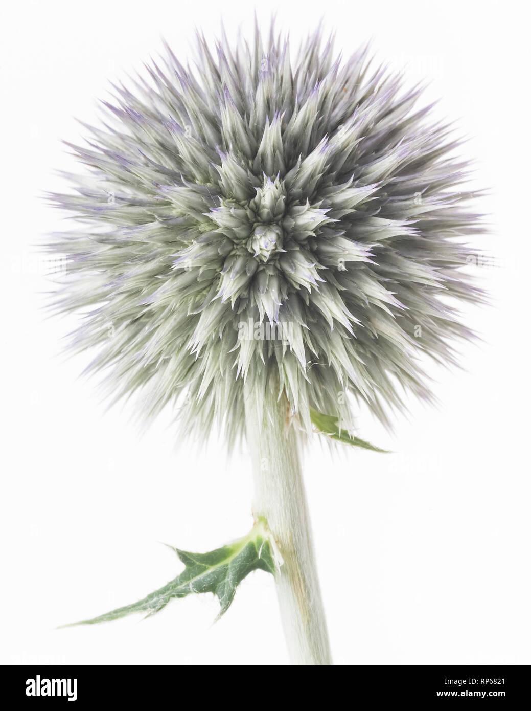 Globe Thistle, Echinops ritro, Pre-Bloom against White Background - Stock Image