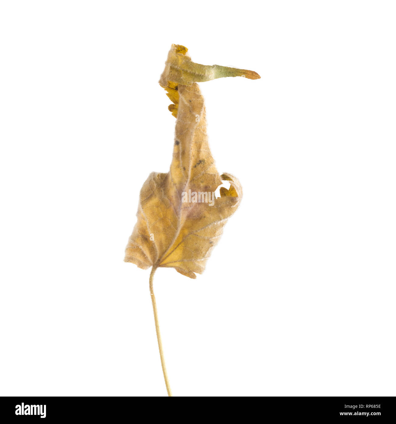 Dried Flowering Maple, Abutilon striatum thompsonii, Leaf against White Background VI - Stock Image