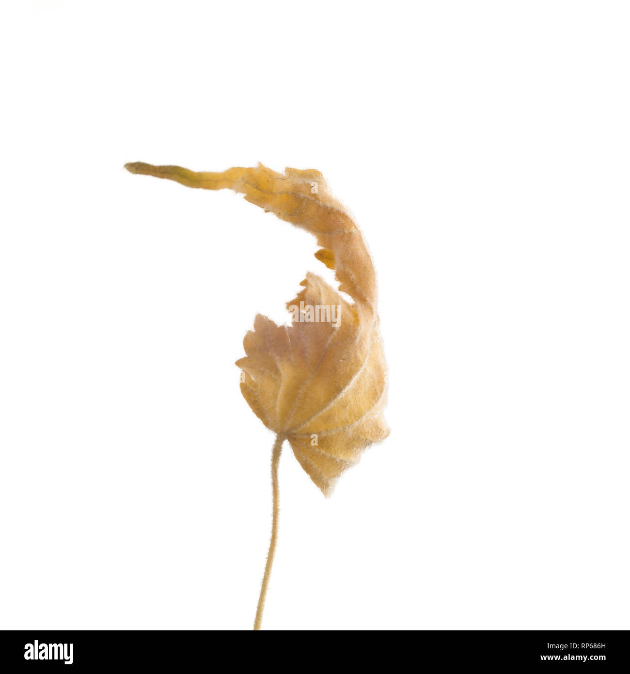 Dried Flowering Maple, Abutilon striatum thompsonii, Leaf against White Background XV - Stock Image