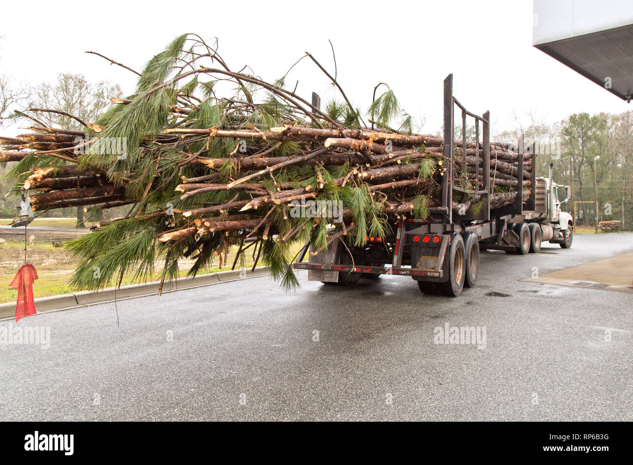Logging truck hauling freshly harvested Southern Long Leaf Pine logs 'Pinus palustris'  to mill. Stock Photo
