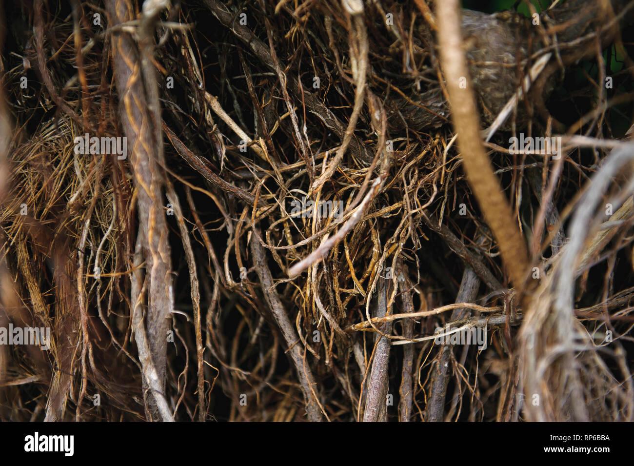 Leafless bush that looks like a bird's nest. - Stock Image