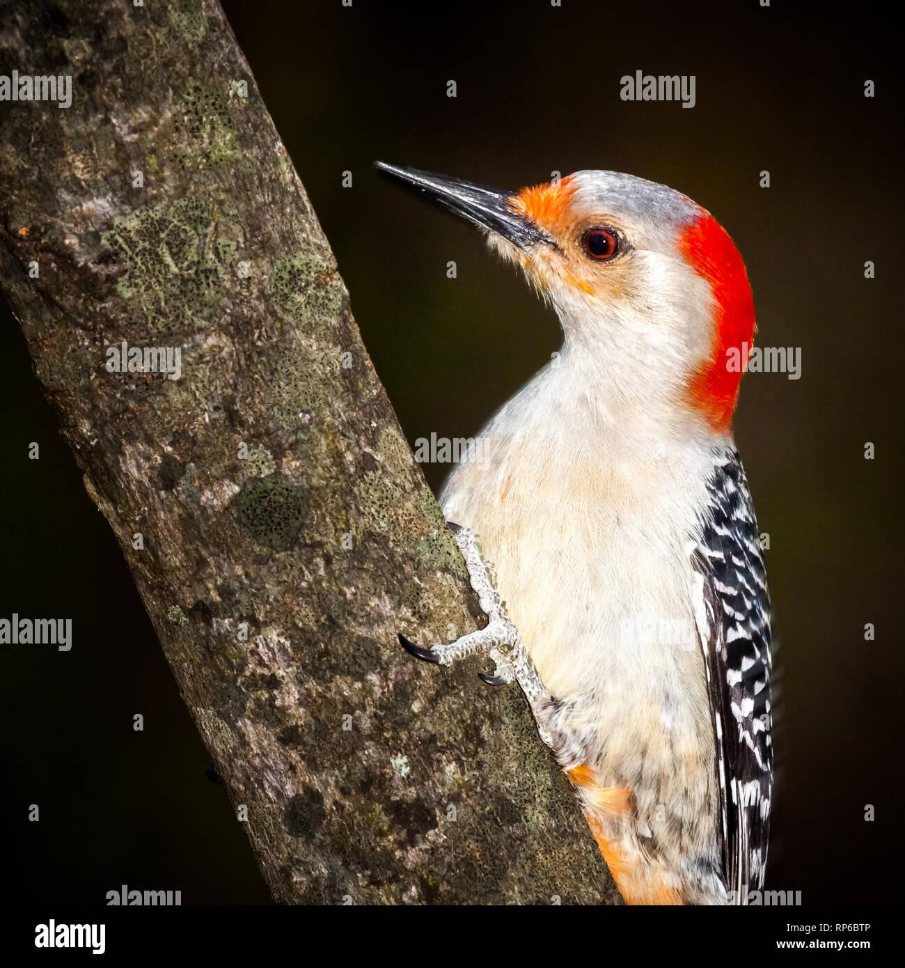 Male Downy Woodpecker - Stock Image
