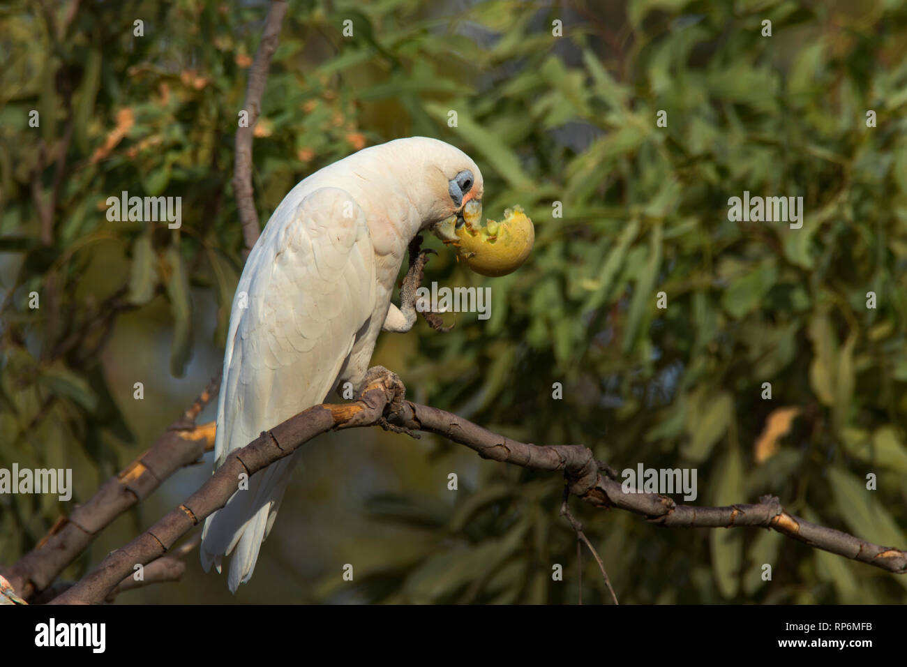 Little Corella, Cacatua sanguinea, a type of parrot, perched in a tree feeding on a small melon. Stock Photo