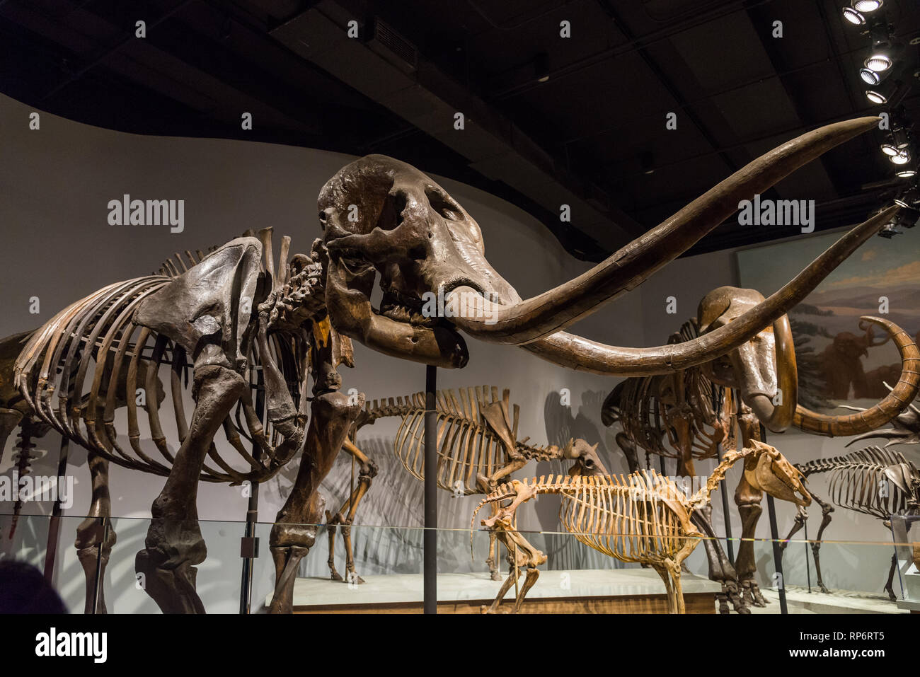 Fossil skeletons of Mastodon and woolly mammoth. Mammals of Ice Age exhibit. The Field Museum. Chicago, Illinois, USA. - Stock Image