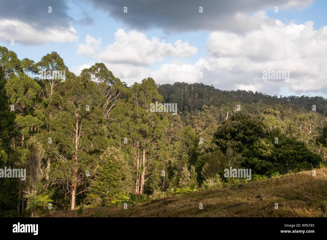 Native eucalypt forest of the Otway Ranges near Marengo, Great Ocean Road, Victoria, Australia - Stock Image