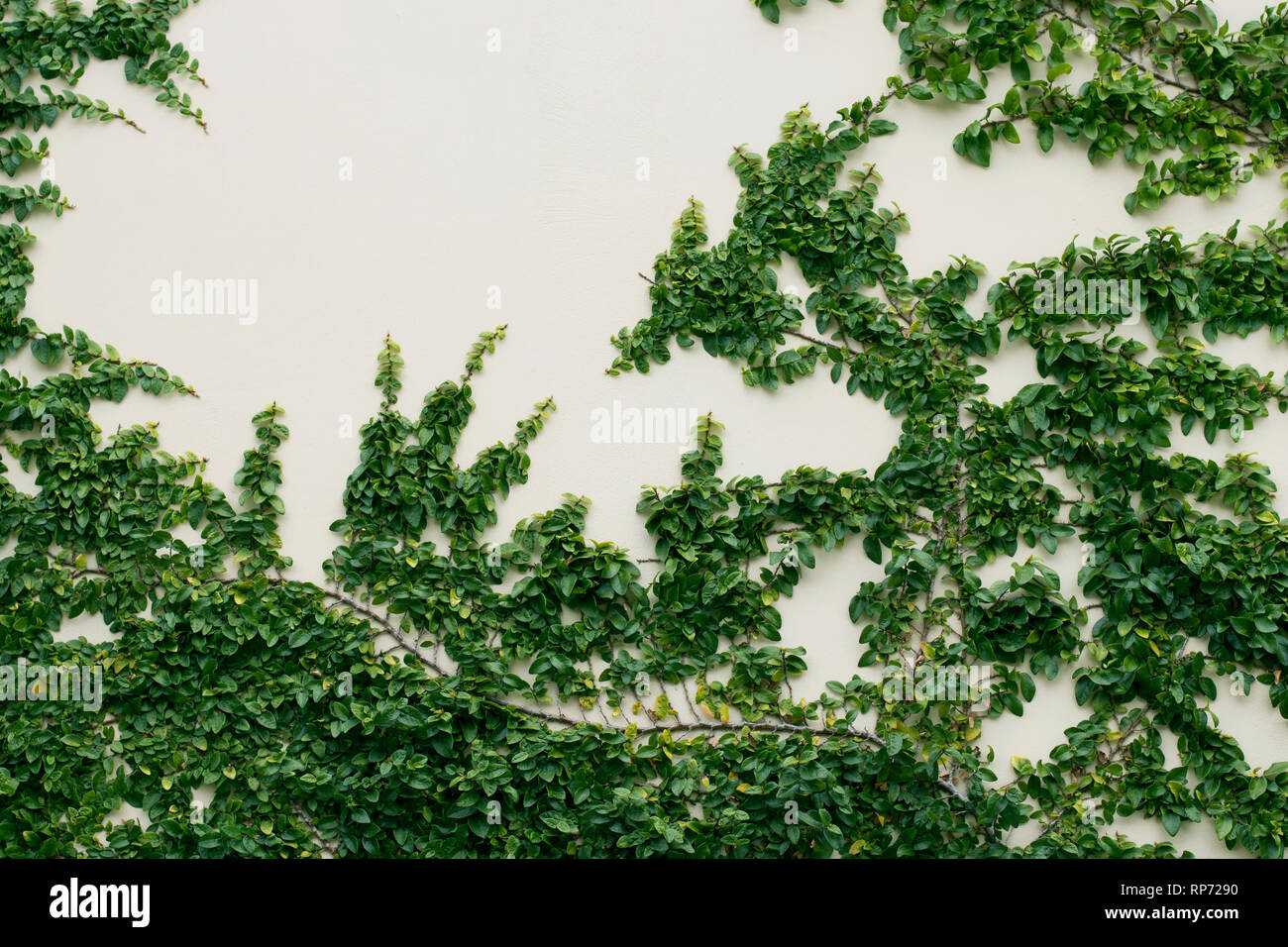Climbing Plants Growing Up Wall High Resolution Stock Photography And Images Alamy