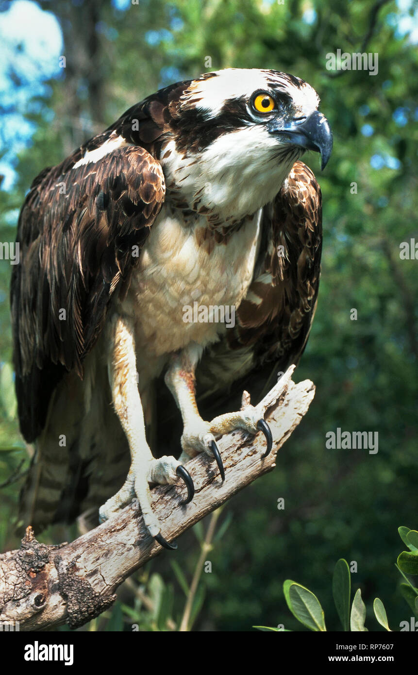 The sharp talons of an osprey (Pandion haliaetus) grasp a dead tree branch while the majestic raptor is on the lookout for its next meal. This fish-eating bird of prey is also known as a fish eagle and a sea hawk. - Stock Image