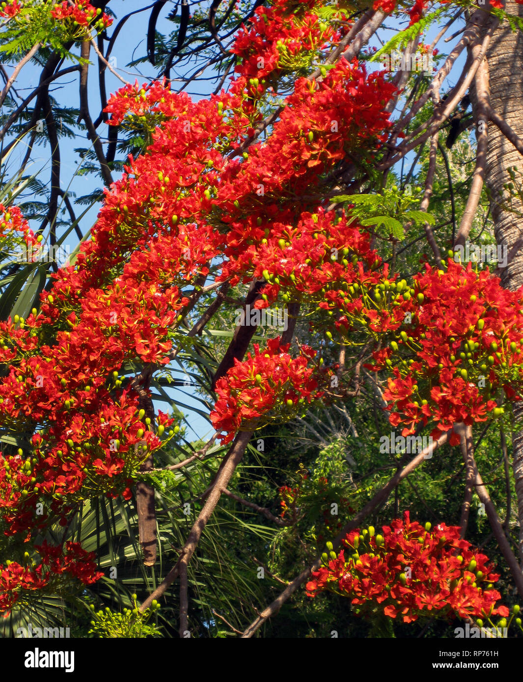 Clusters of scarlet flowers blossom in springtime on showy Royal Poinciana trees (Delonix regia) in southern Florida, USA. This deciduous member of the bean family also is known as the Flame Tree and Flamboyant Tree. The small green bulbs are flower buds that have yet to bloom. - Stock Image