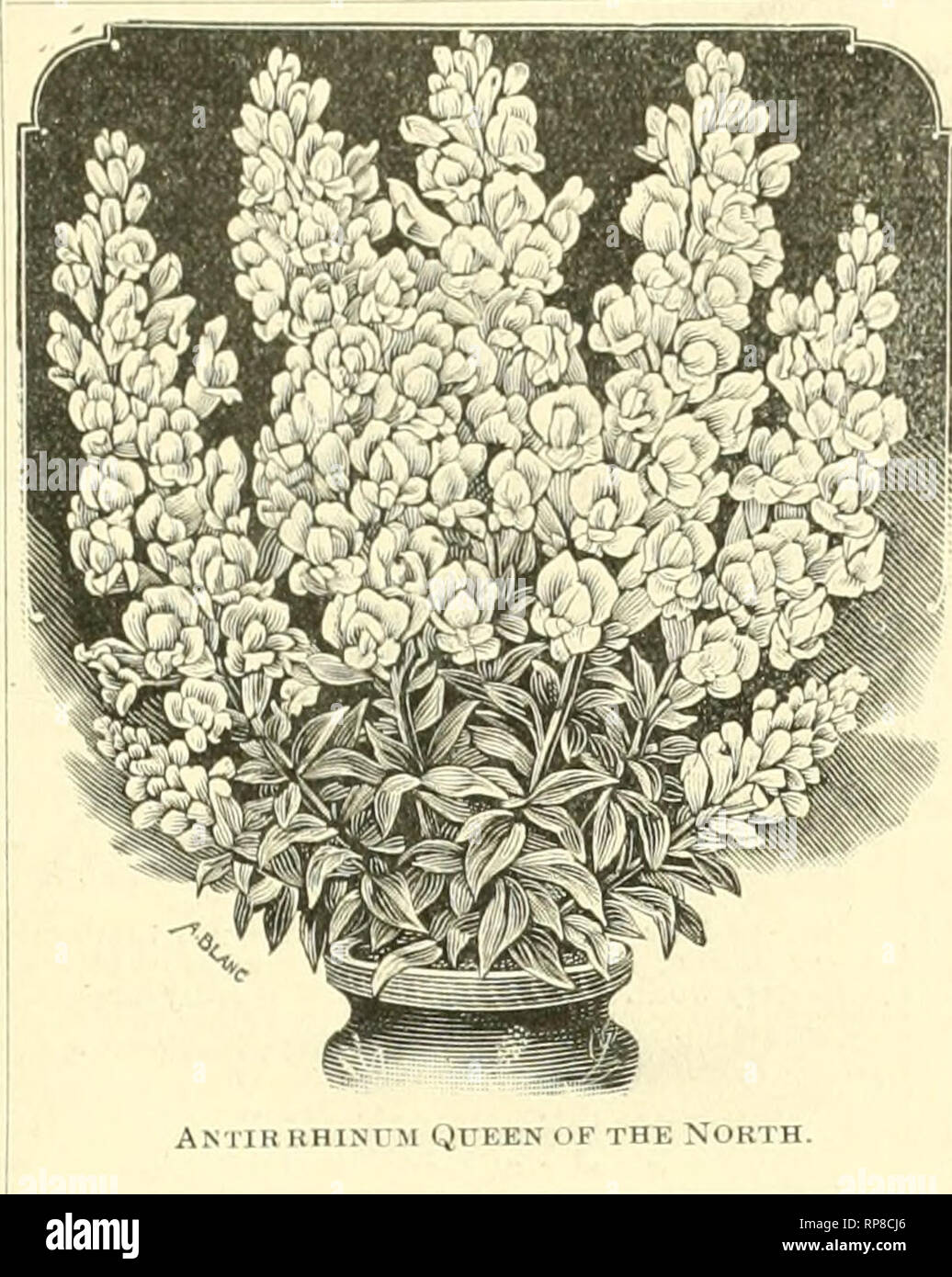 """. The American florist : a weekly journal for the trade. Floriculture; Florists. igoo. The American Florist. 1059 i s»? FLORISTS' FLOWER SEEDS Antirrhinum Queen of the North Snow «like, ail cxculli'iil cut tlowcr. Hlooins summer and winter. Trade pki. iOi-.: iiz. :h(ic. Aqultegia Coerulea — V'.Qi- p.it plalil- 'l'i:ulr pkt.. HH- Aquilegia Coerulea Hybrida The seed of these new hybrids liiis lieen supplied to us hy Mr. L Burbank, who describes ihem as """"marvelously improved in si/e and colors—by far the best seed ever olTerid ' Trade pkt..-Jnc. Asparagus Plumosus Nanus Mill seeds, *r .till; - Stock Image"""