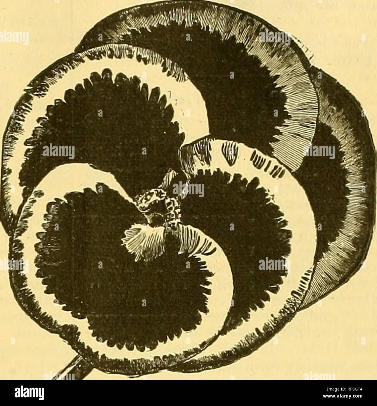 """. The American florist : a weekly journal for the trade. Floriculture; Florists. NEW />Yri AMFM p^""""®'*'^"""" CROP j I v^I_/aItII_Ii qisanteum We have received from a ctlebrated specialist a large stock of the f.hoicest Cyclamen persicum giganleum. Sowil any time before October, they ^'erminate readily and make fine plants for next season. We can'furnish in the foUowinp four distincccolors, also in mixture: 100 iroo sds. sds. Pure White $ h J6.00 White with Carmine Eye . .?!> 6.00 Deep Rose 76 6.00 Blood Red 75 600 FinestMixed 60 5.00 250 seeds or over at the lOtO rate. NEW CROP  - Stock Image"""