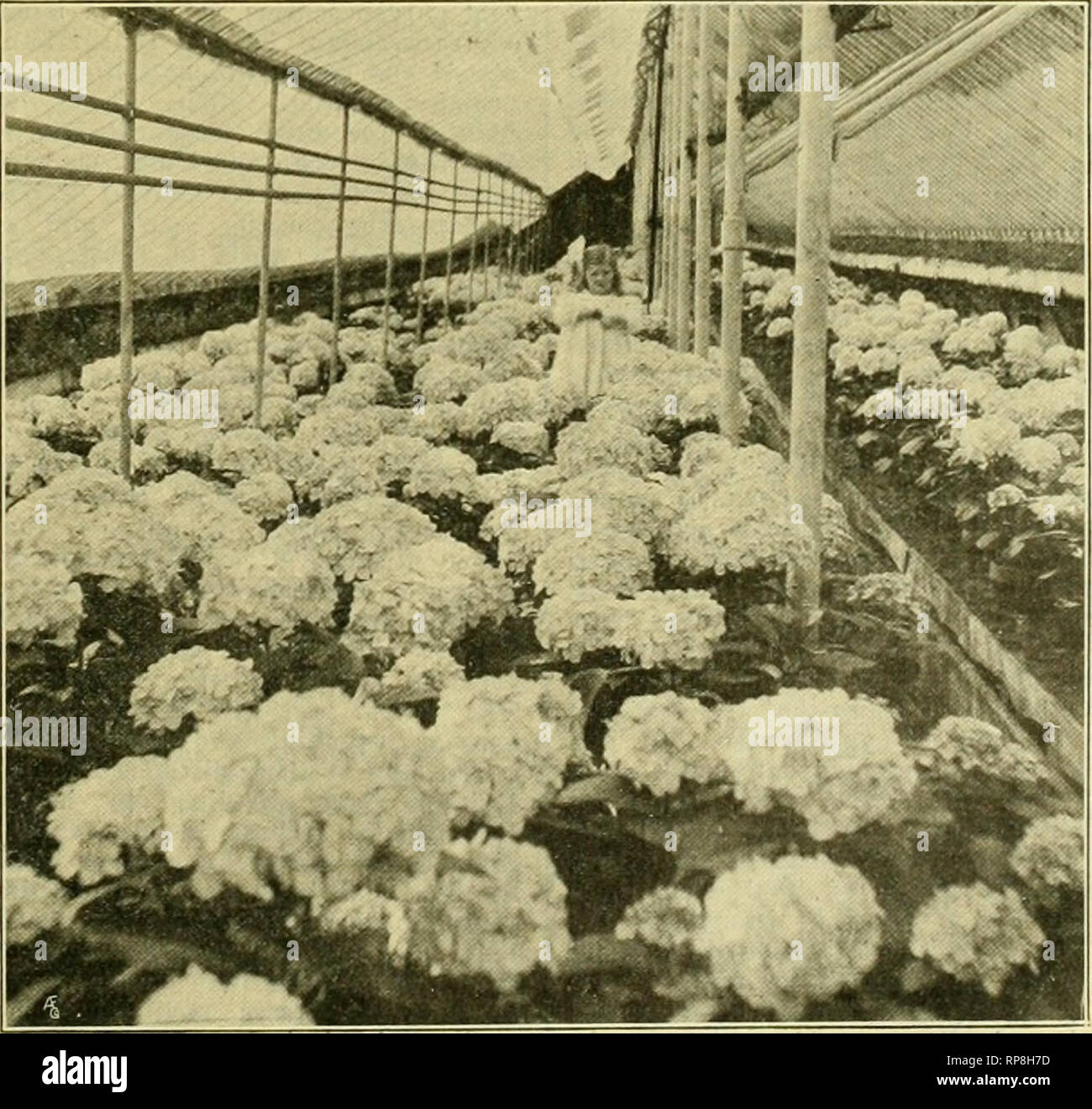 """. The American florist : a weekly journal for the trade. Floriculture; Florists. igog. The American Florist. 119 ^^^^^^^^^^^^^^^BVv '^/^^^^H ^^^H ^^^??V^s ^t^^ ^^P^^^^^^^^^^H ^^^^^^^^^^^^^^^P^^^Bf p^*^ ^S^fe^^^^^^^^l ^^^^^^^^^^^^^Hta> '^^^^^^Kur""""' ^^^^^^^^^^^H ^^^V Jf i^ -^ ^^^^^M^^^HkL^ ^'. ^?y^R' ^^T^^^^Kf •*^y'::.1^ l^^^^^^^l ^^^^^^^ a^^^^^H^kI^^ J^^^^^^^K^T ' ^^^B^fe^^klKil^^^^^^l ^"""" '-? '^^'^^?'^Pip^ > drUUHBi^F!!^^! H^ AjFV^^*m^K ii« -? -mfy^y^^^^B r W^--^m. ''i:-^ ^^ ^hi'iiV^ ' ' ' Vfek 1^ ?^SH [^^^^jik^'>.j.X ^^Kk."""" ii^uJH j I^H ^^Bi^^^^^^H^^^^^I' ^^^