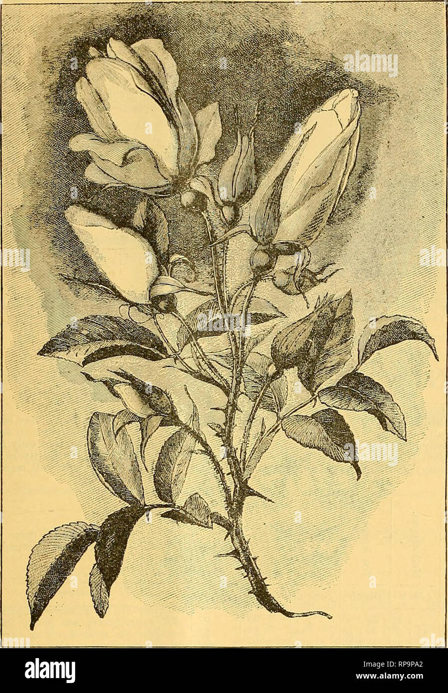 . The American florist : a weekly journal for the trade. Floriculture; Florists. i888. The American Florist. 519. HXBRD Host UKOKWt GtORGtS QBU^W. ing for the first time. It has still eleven strong well developed buds to open, and is entirely free from mildew, a fact that is quite refreshing to witness in this variety. I think it has at last found its proper place, viz : Among our best H. P. roses in the garden. Thos. Franks. Champaign, 111. Some New Roses. Sappho, the new tea rose, so well ex- hibited by Messrs. William Paul & Son at the recent meetings of the Royal Hort. society, is a v - Stock Image