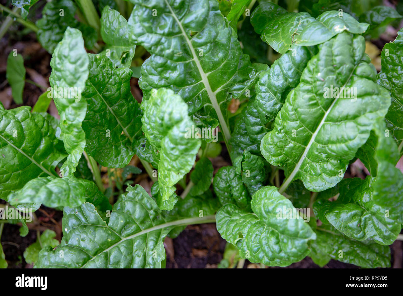 Healthy organic silverbeet growing in a garden in Canterbury, New Zealand - Stock Image