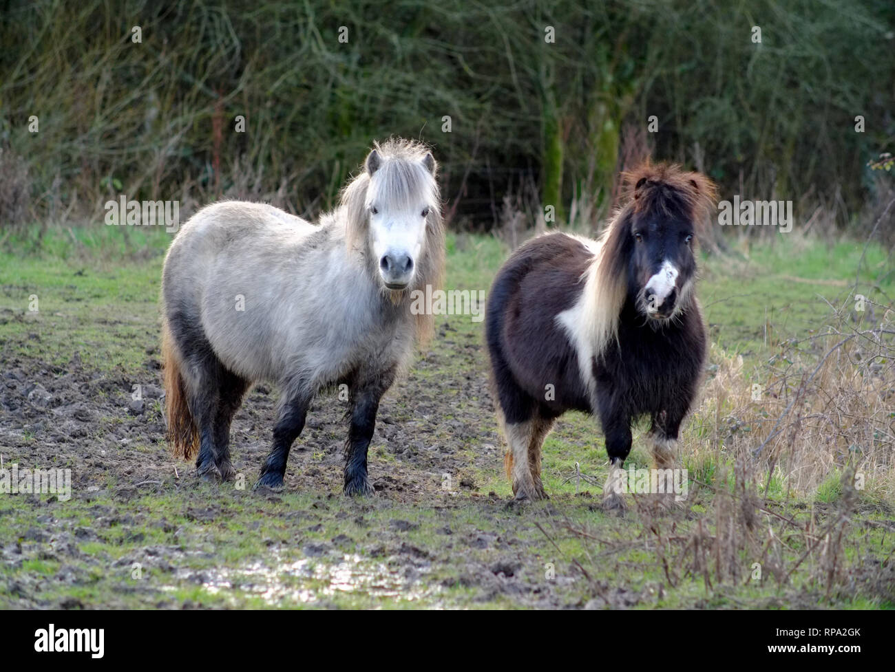 Shetland ponies in a muddy field, East Sussex, UK - Stock Image