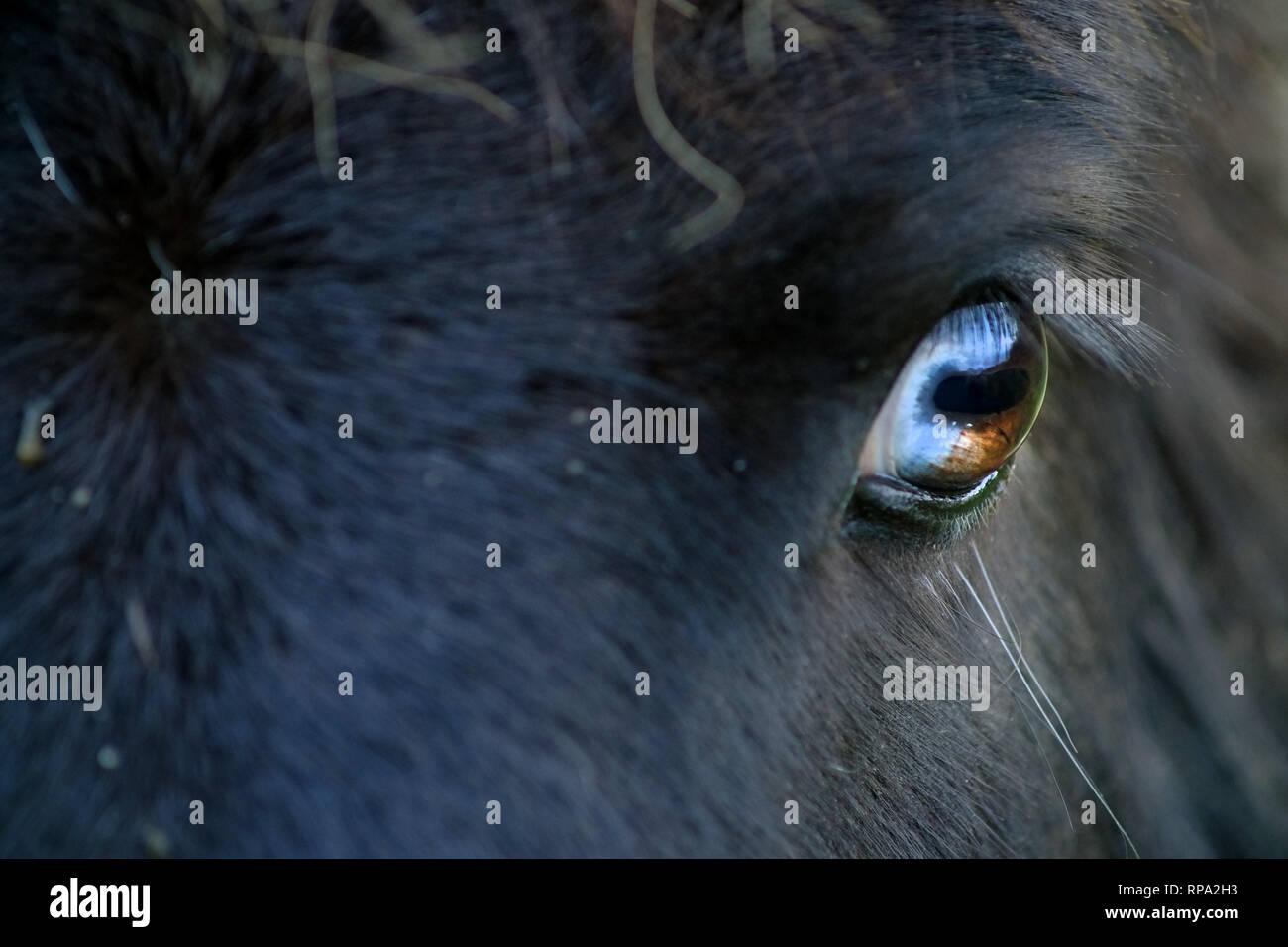 Close up of az Shetland pony eye showing rectangular pupil - Stock Image