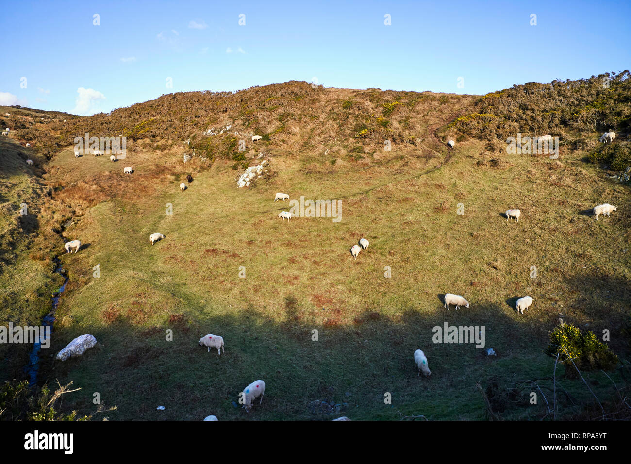 Sheep grazing on a Manx hillside part in shade part in sun on a winter day - Stock Image