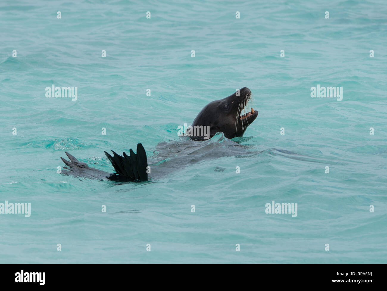 A Galapagos Sea Lion swimming just of the shore in Galapagos Islands Stock Photo