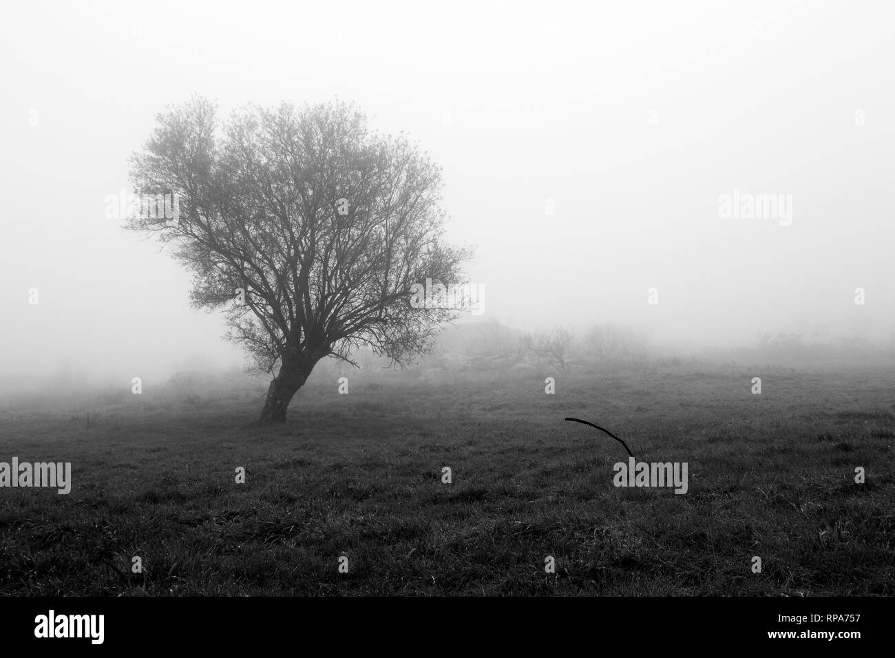 Lonely tree in a foggy morning - Stock Image