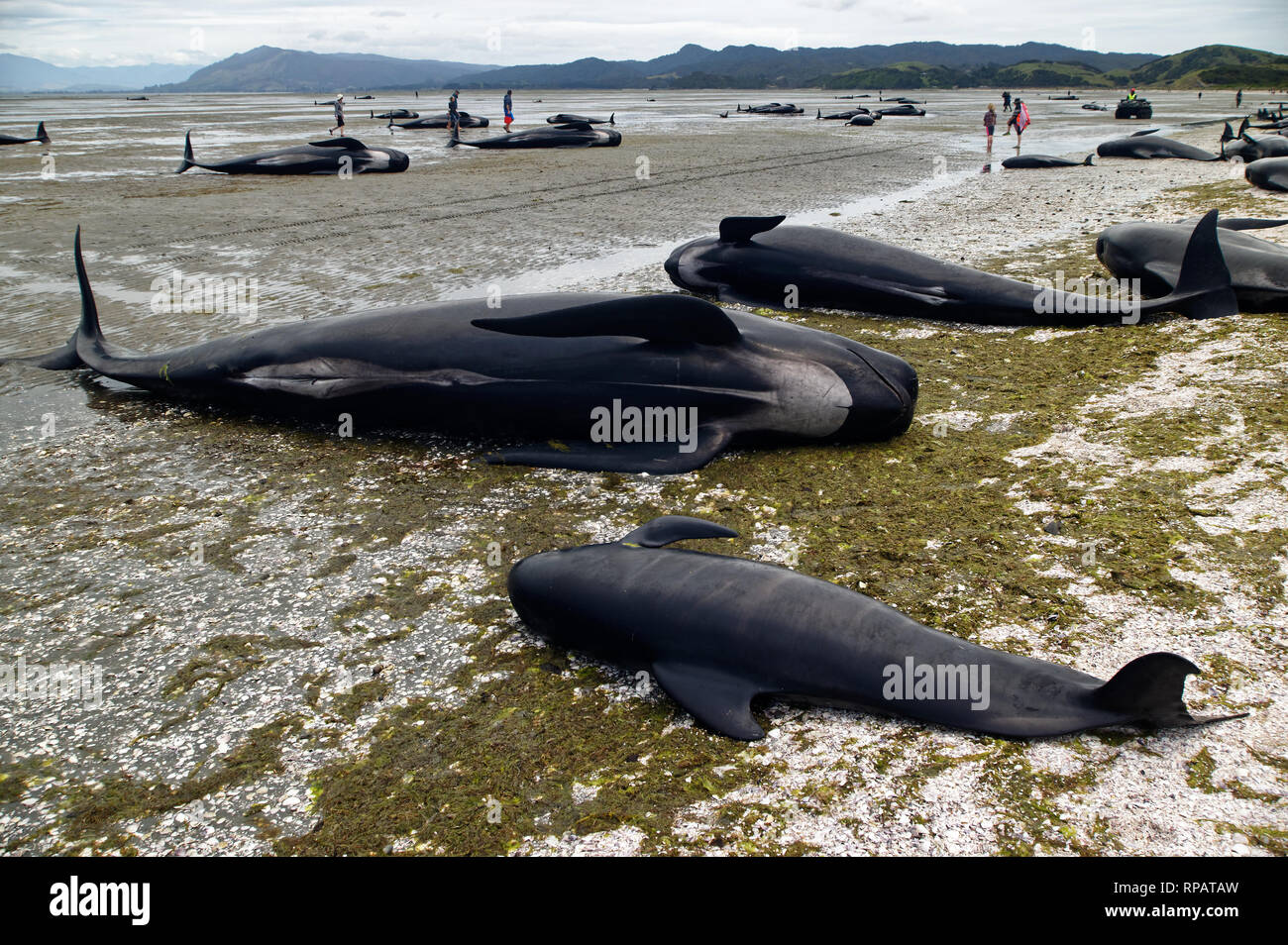 Dead pilot whales during a whale stranding on Farewell Spit in New Zealand's South Island - Stock Image