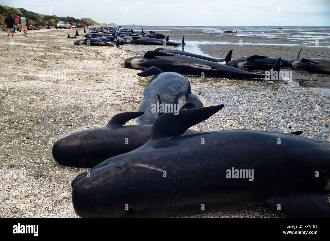Despite rescuers best attempts many whales often die in mass strandings at Farewell Spit in New Zealand - Stock Image