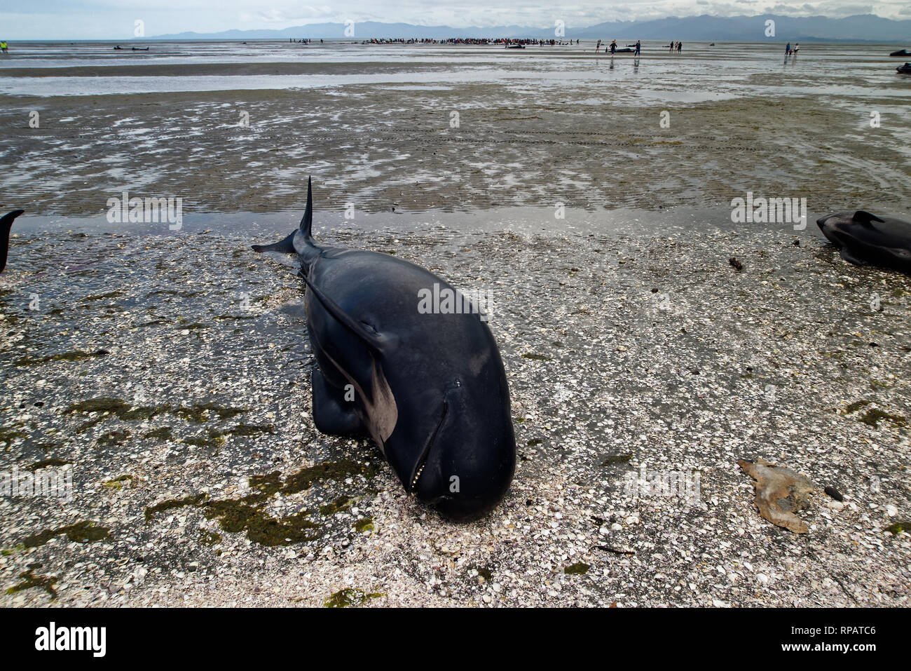 A dead pilot whale in the foreground, groups of people are still trying to keep whales from restranding in the background - Stock Image