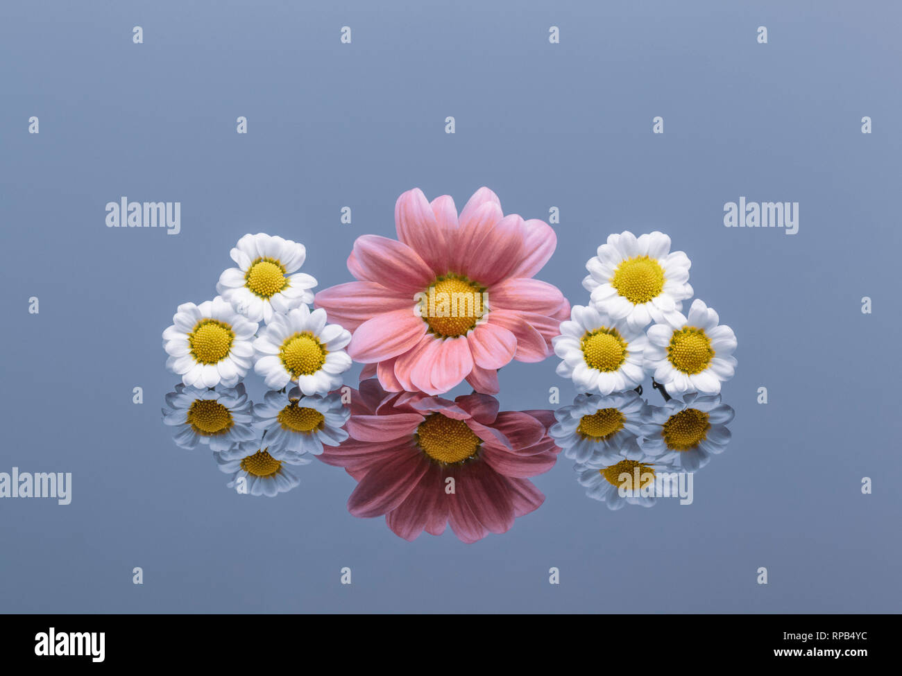 White and pink Chrysanthemums on reflective surface Stock Photo