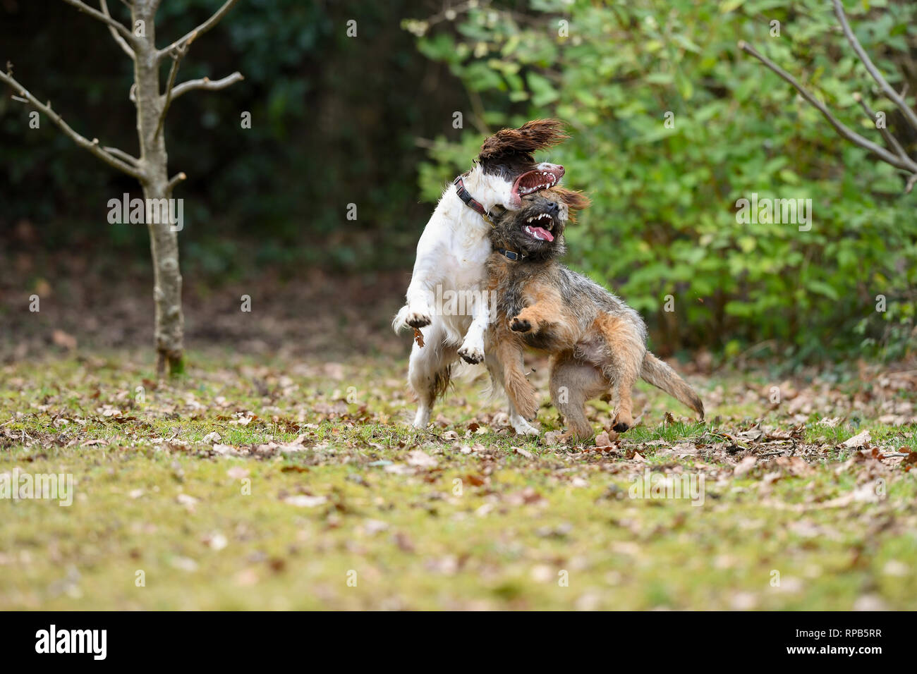 Two young ( 1 Year) English Springer Spaniel and Terrier dogs play fighting showing teeth and aggression but in a non harmful way. Stock Photo
