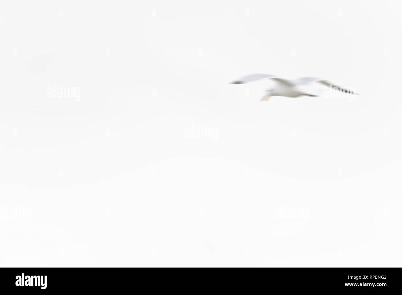 Abstract of white seagull flying in the air - Stock Image