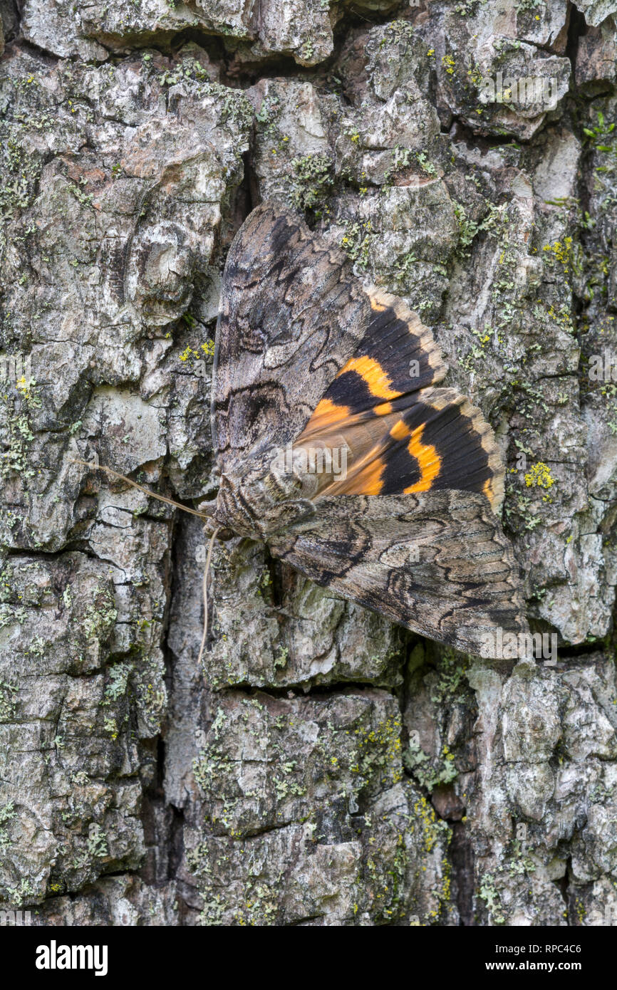Penitent Underwing (Catocala piatrix)  Adult on Black Walnut tree trunk flashing wings in startle display. Powells Valley, Dauphin Co., PA, summer. - Stock Image