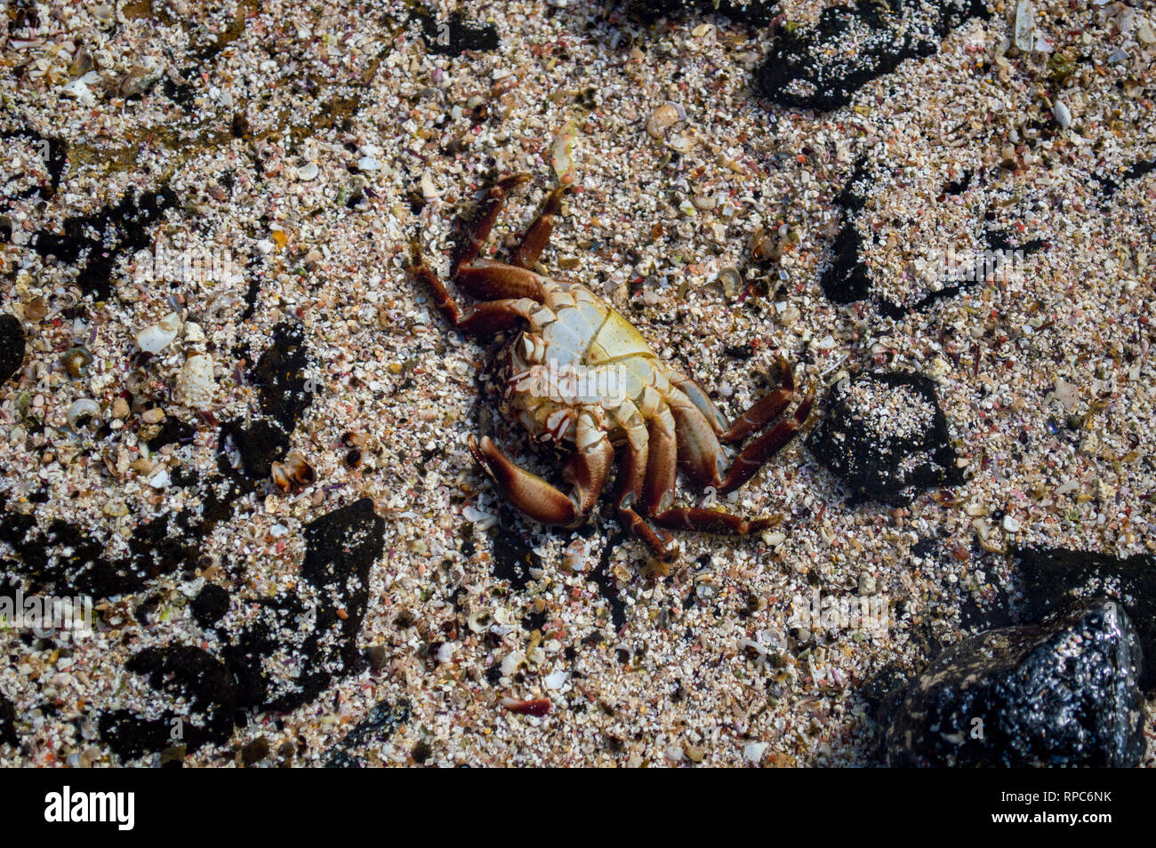 A crab in an inland pool on the northwest coast of Fuerteventura, Canary Islands - Stock Image