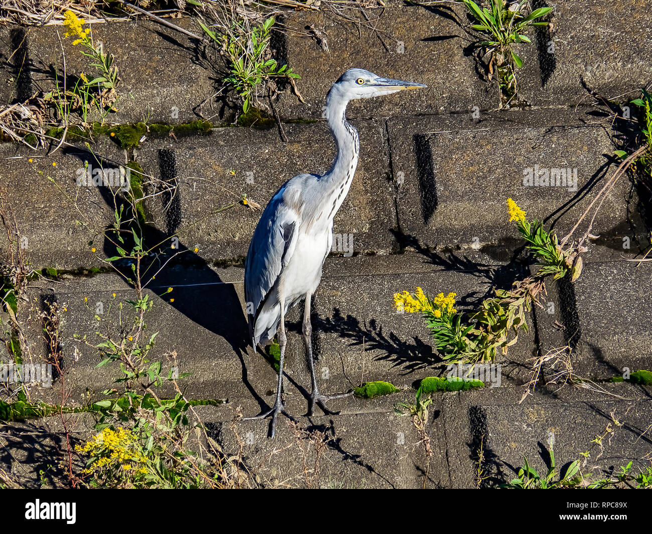 A gray heron stands on a concrete embankment beside a river in central Kanagawa prefecture, Japan. - Stock Image