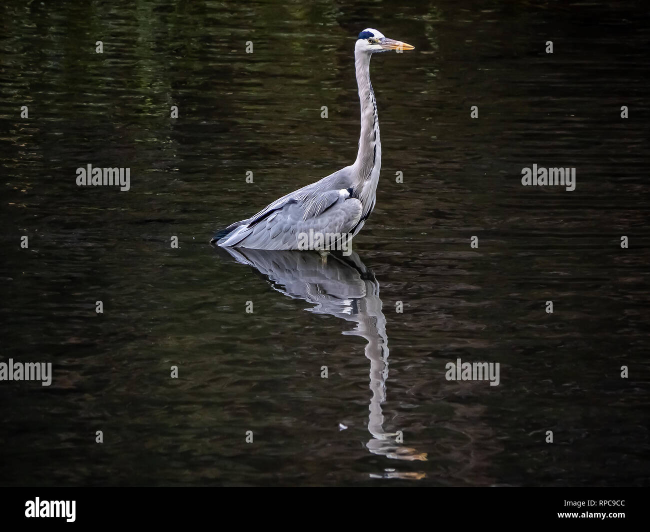 A Japanese gray heron wades in a pond in a forest and nature preserve in central Kanagawa Prefecture, Japan. - Stock Image