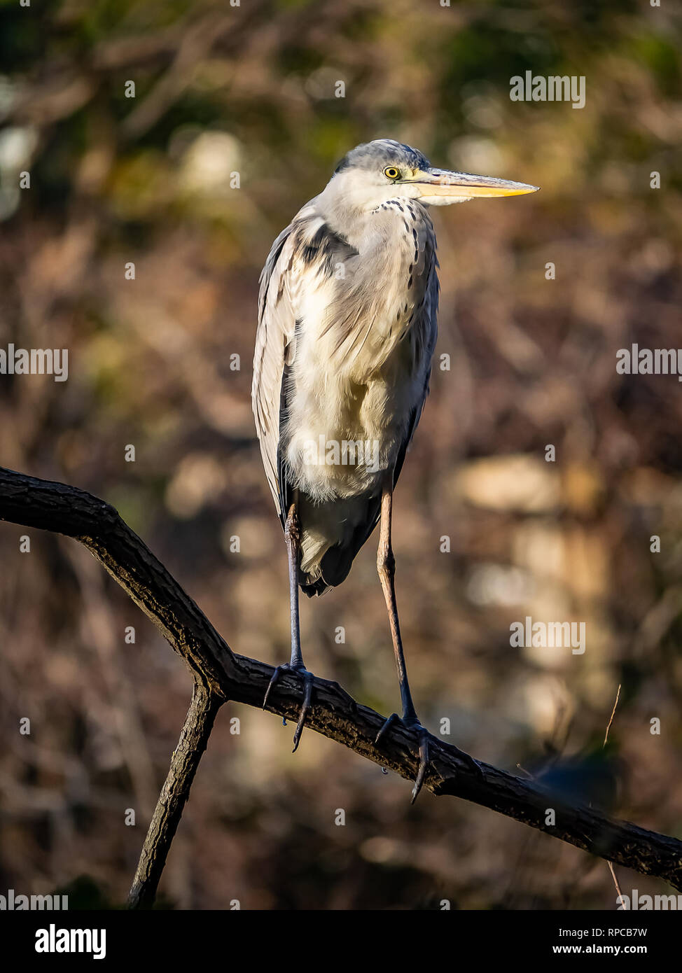 A Japanese gray heron stands on a tree branch above a small pond in central Kanagawa Prefecture, Japan. - Stock Image