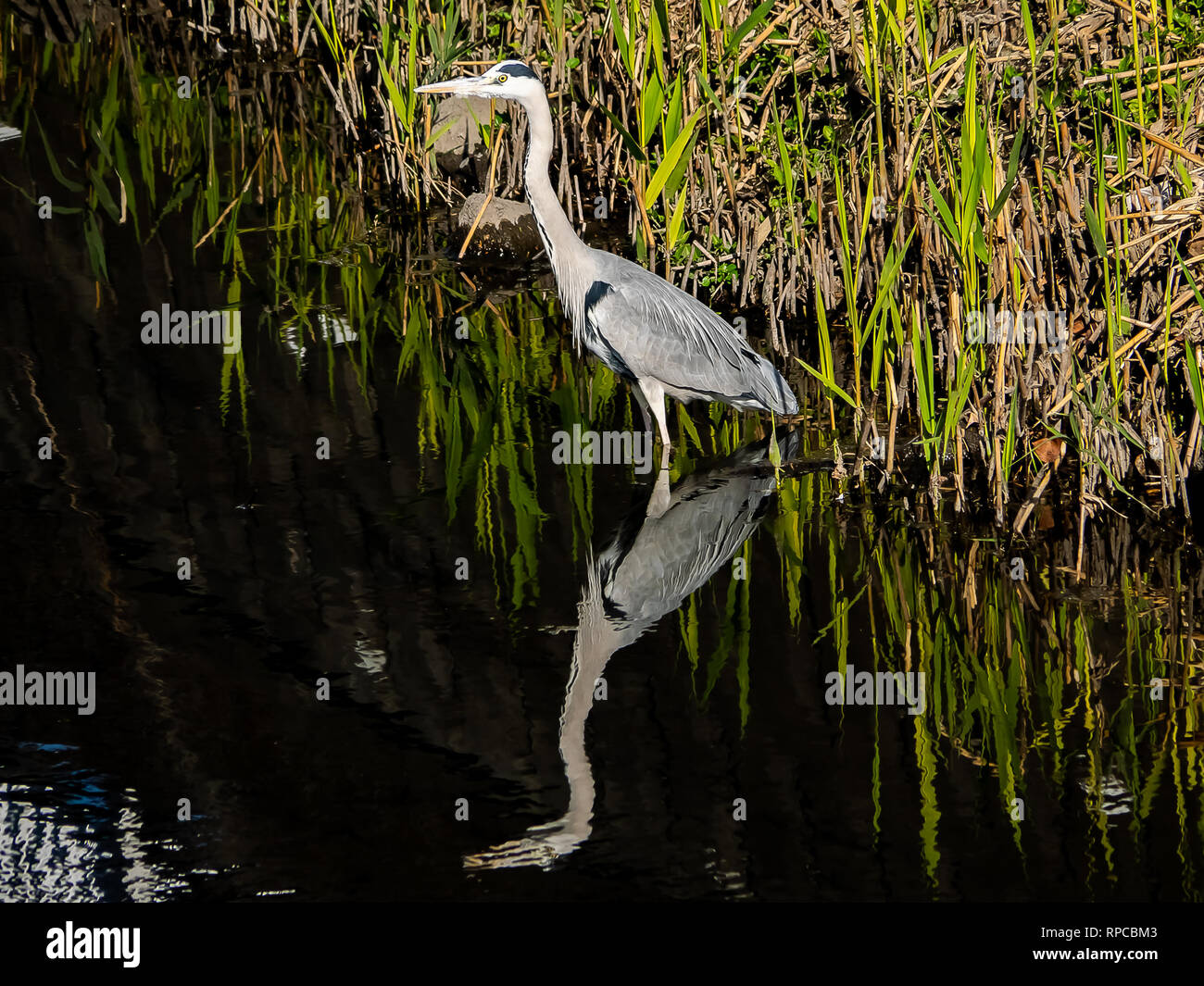 A gray heron wades in a river in central Kanagawa prefecture, Japan. - Stock Image