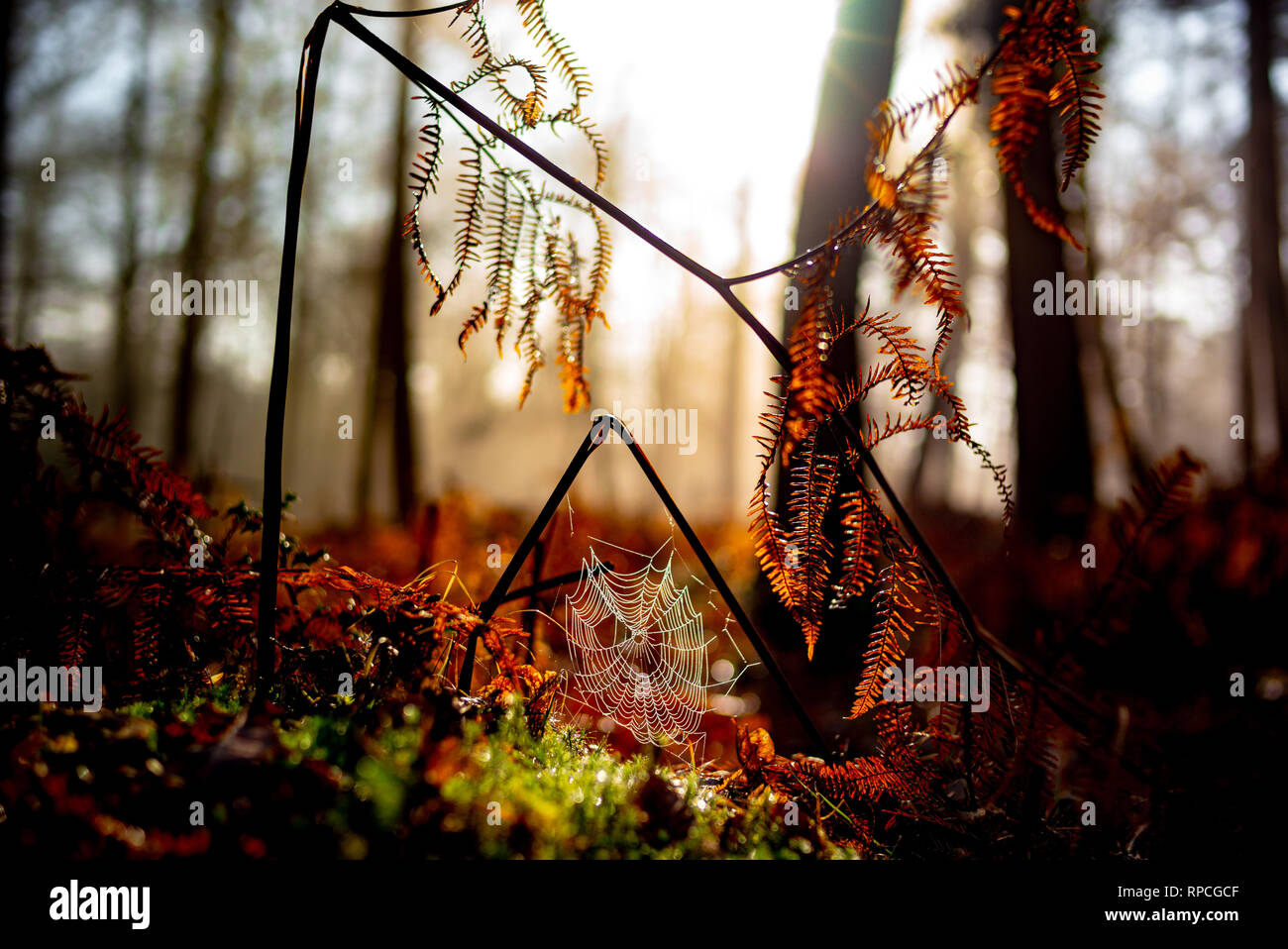 Beautiful misty colourful Autumnal scene of ferns in the NewForest with a connected spider web covered in dew with the sun breaking in the background. Stock Photo