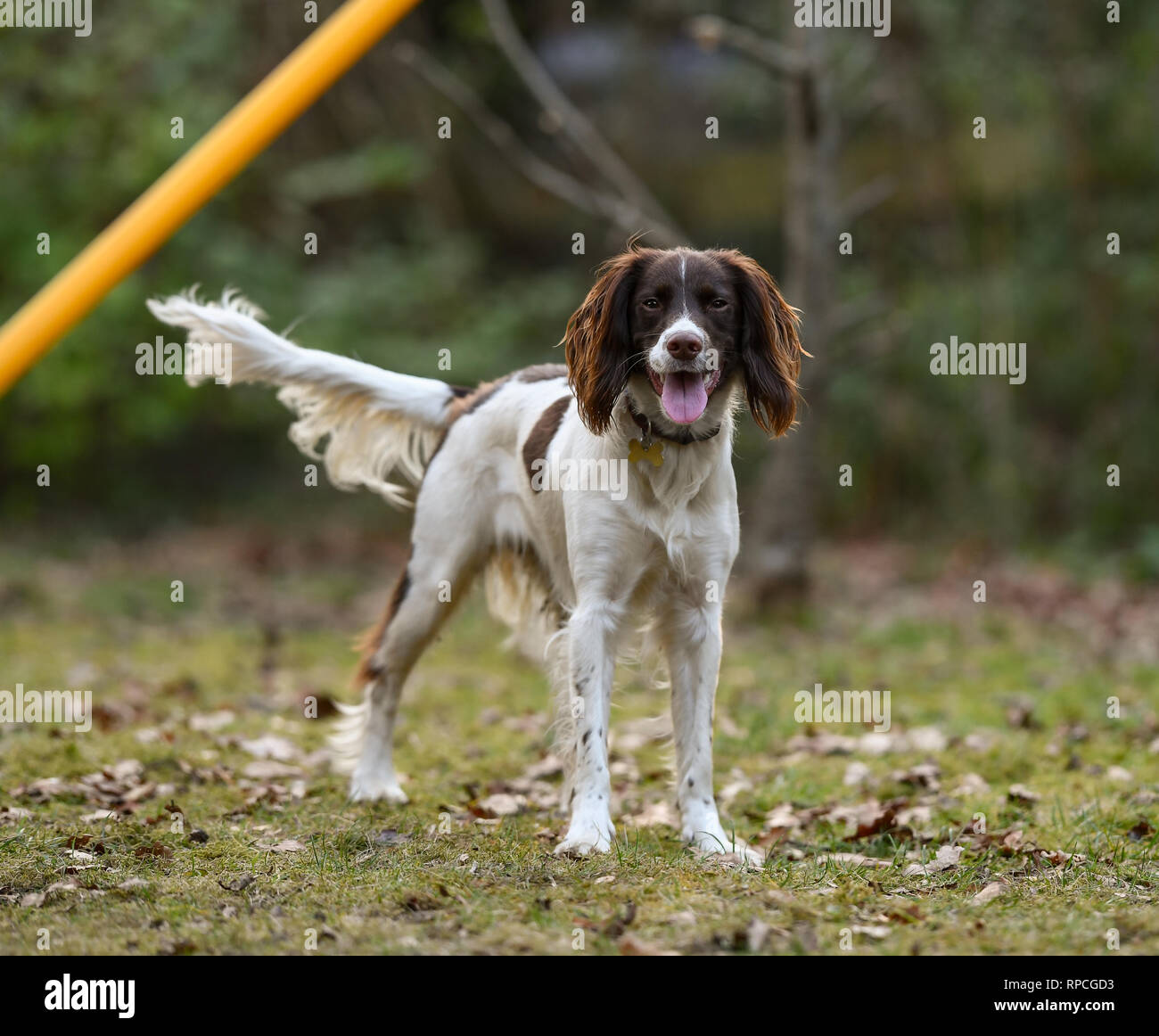 A happy and alert Young ( 1 Year old) English Springer Spaniel takes a break from agility and dummy training in green forest surroundings. Stock Photo