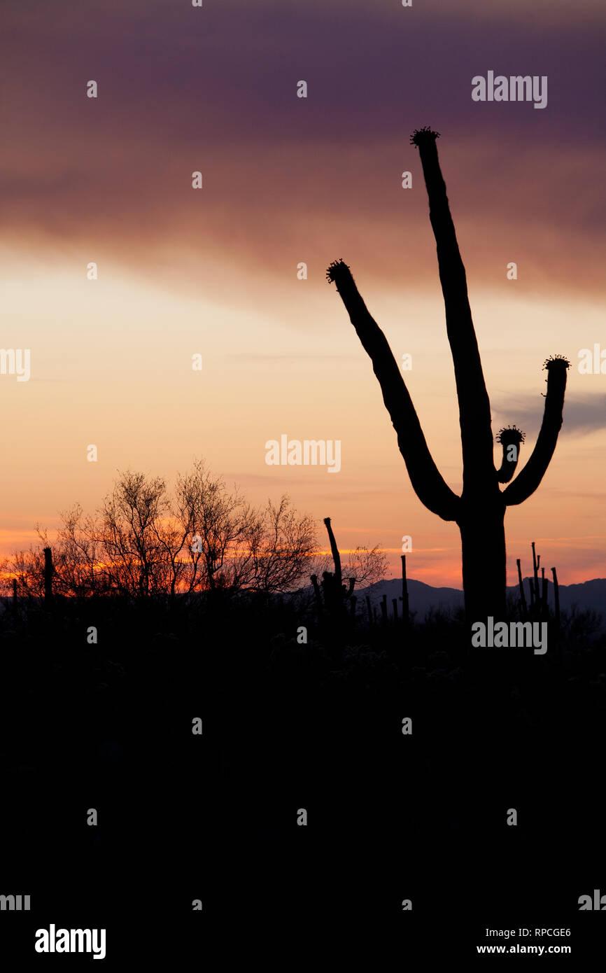 Budding Saguaro Stock Photo