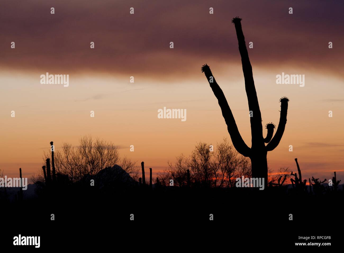 Budding Saguaro - Stock Image