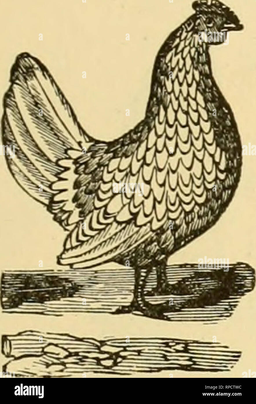 . The American farmer's pictorial cyclopedia of live stock ... Livestock; Veterinary medicine. UAMF: fowls. AM) OTlllCli RAKE ISKEEUS. !l4i VII. Other Bantams. The principal varieties Ijred are the BUick, the Cochin, the Feather- legged, the Nankin, the Pekin, tlie Wiiite, the Seabright and the Japan- ese. The two latter will he suiEcient for notice here as being the two most distinct and elegant of all the varieties. VHI. The Seabright Bantam. These are of two varieties, tlie Golden-penciled, and the Silver-penciled, identical, except in the color of their plumage. A peculiarity of these is,  - Stock Image