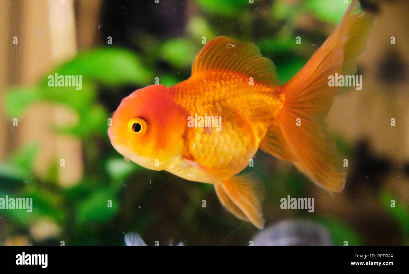 Oranda Lionhead Goldfish Stock Photos & Oranda Lionhead